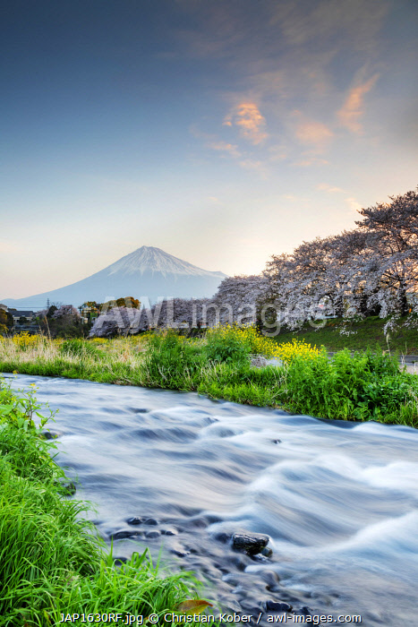 Asia, Japan, Honshu, Shizuoka prefecture, Mt Fuji (3776m) - Unesco site, spring cherry blossom