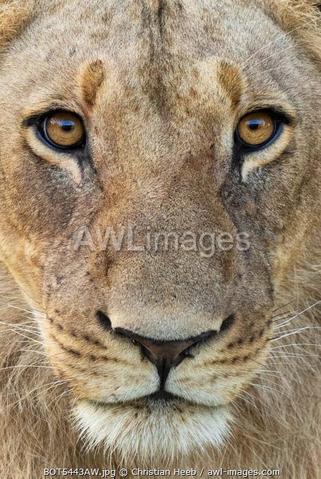 Botswana, Savuti,  Okavango Delta, Lion Portrait