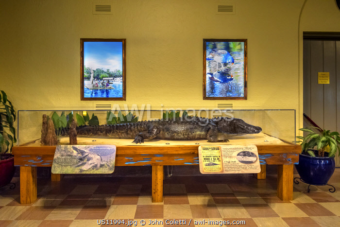 Wakulla Springs Lodge, Lobby, Stuffed Alligator, Old Joe, Wakulla Springs State Park, Wakulla County, Wakulla River, Carries The Outflow From Wakulla Springs, One Of The Worlds Largest And Deepest Fresh Water Springs