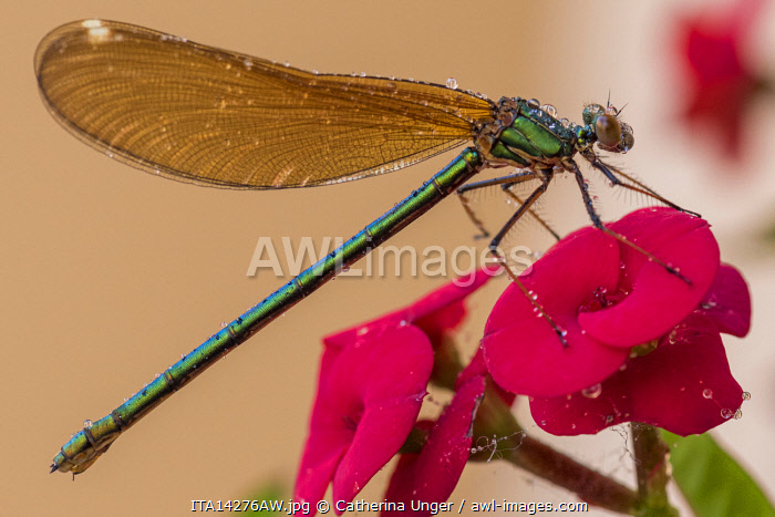 Europe, Italy, Liguria, Cinque Terre. A green dragonfly on a flower.