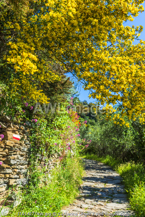 Europe, Italy, Liguria, Cinque Terre. Footpath in springtime with flowering yellow broom. Area around Vernazza.