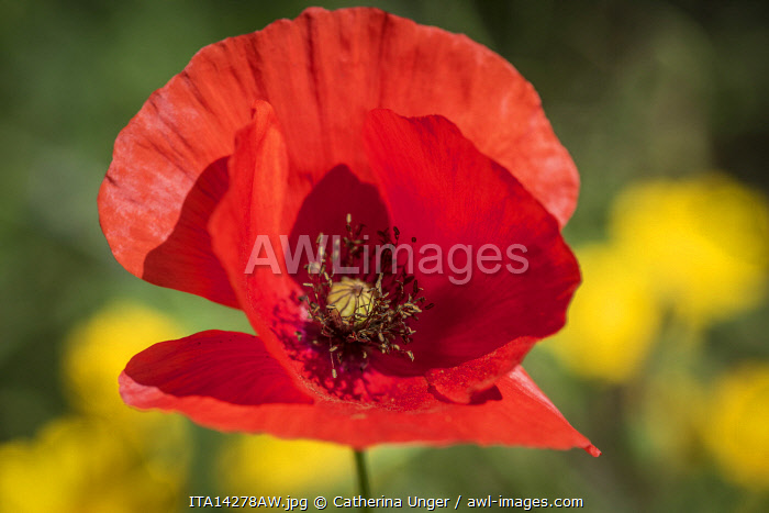 Europe, Italy, Liguria, Cinque Terre. A flower of the red poppy.