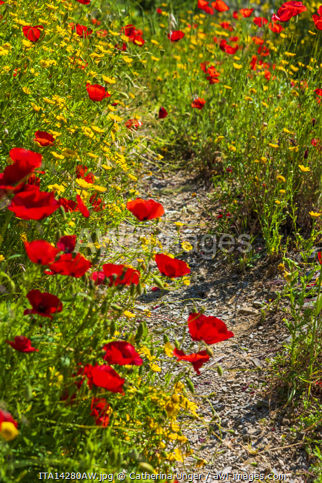 Europe, Italy, Liguria, Cinque Terre. A footpath in the National Park of the Cinque Terre in spring time, full of poppy flowers.