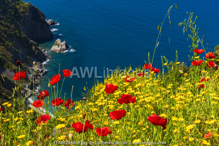 Europe, Italy, Liguria, Cinque Terre. A view of the coast of the Cinque Terre in spring time, full of flowers.