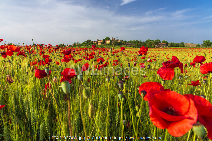 Europe, Italy, Tuscany. A field with poppies in Southern Tuscany at Lucignano.