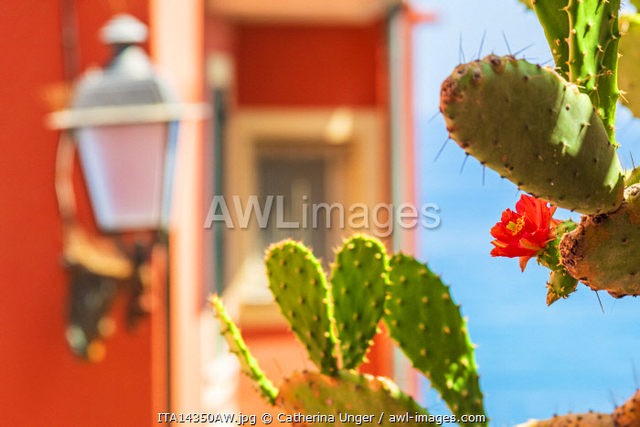 Europe, Italy, Liguria. Genoa, Boccadasse. Detail in the street - a cactus with flowers in the summer in front of one of the colorful facades of the town.