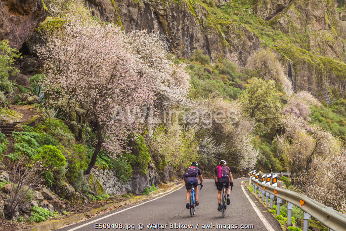 awl-images.com - Spain / Spain, Canary Islands, Gran Canaria Island, Ayacata, blooming almond trees, mid January, with bicyclists, NR