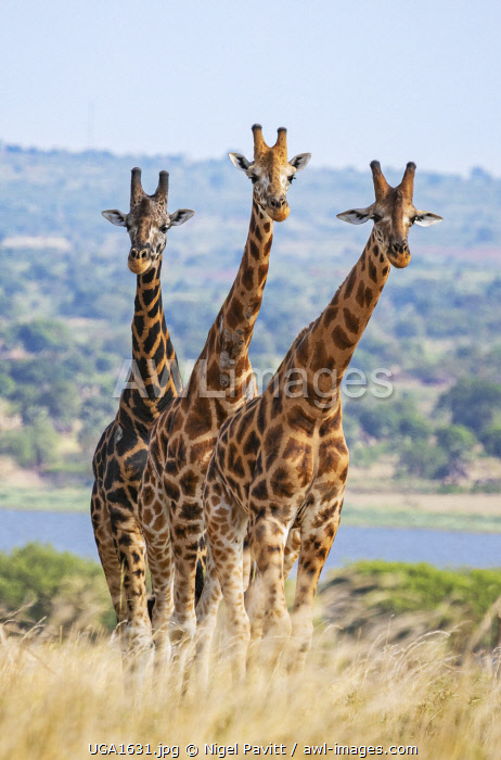awl-images.com - Uganda / Uganda, Murchison Falls National Park. Three Rothschild giraffes in Murchison Falls National Park with Lake Albert in the background.
