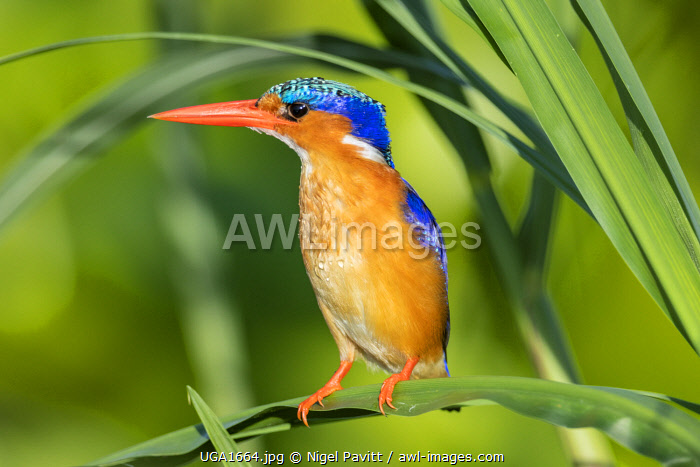 Uganda, Southern Uganda, Jinja. A Malachite Kingfisher on the banks of the Victoria Nile.