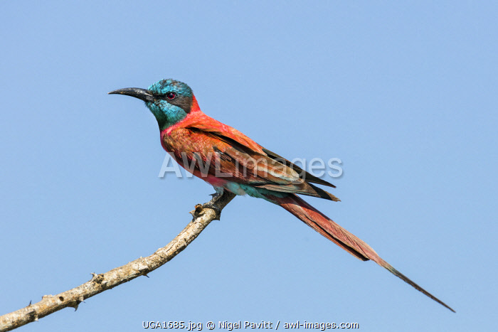 awl-images.com - Uganda / Uganda, Murchison Falls National Park. A Northern Carmine Bee-eater This beautiful bird is richly coloured with long central tail feathers.