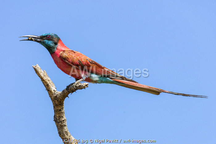 awl-images.com - Uganda / Uganda, Murchison Falls National Park. A beautiful Northern Carmine Bee-eater with a bee it has just caught in its bill.