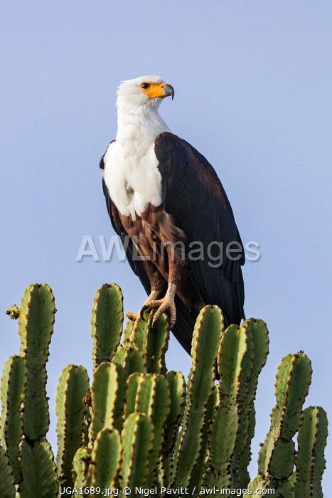 Uganda, Western Uganda, Queen Elizabeth National Park. A spectacular African Fish Eagle perched on a Euphorbia tree.