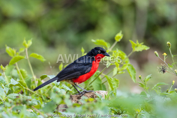 awl-images.com - Uganda / Uganda, Western Uganda, Queen Elizabeth National Park. The Black-headed Gonolek is a shy but very striking black and scarlet bird.