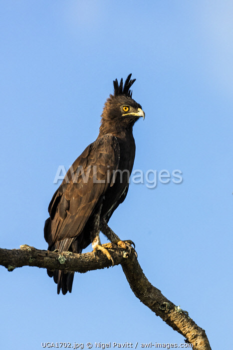 awl-images.com - Uganda / Uganda, Western Uganda, Queen Elizabeth National Park. A striking Long-crested Eagle with its crest feathers erect.