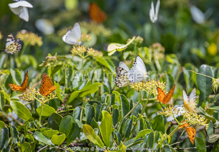 awl-images.com - Uganda / Uganda, Western Uganda, Ishasha, Queen Elizabeth National Park. Butterflies feeding on a flowering shrub. The rich orange butterflies are African Leopard Fritillarys.