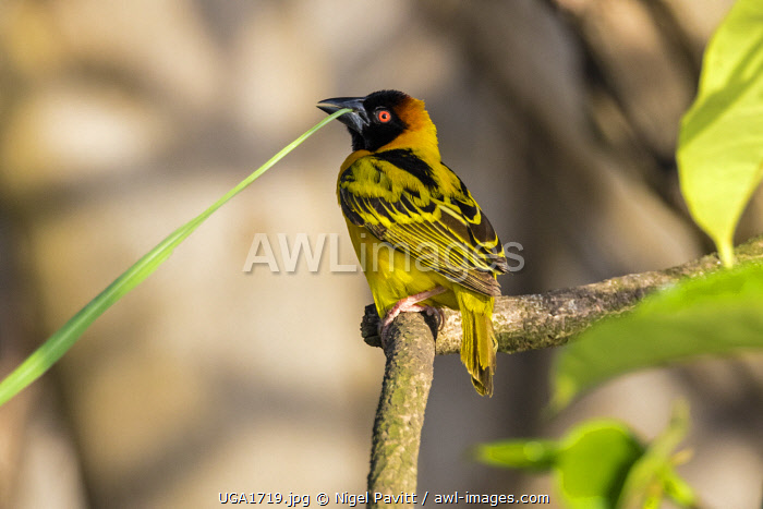 awl-images.com - Uganda / Uganda, Southern Uganda, Jinja. A Black-headed weaver with a reed in its bill for building its woven nest.