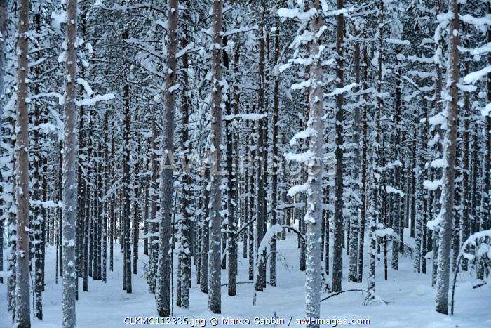awl-images.com - Finland / Pattern trees with snow (close to Rovaniemi) Lapland, Finland