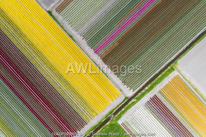 Aerial view of a multicolor tulips field (Warmenhuizen, Schagen municipality, Dutch, North Holland, Netherlands