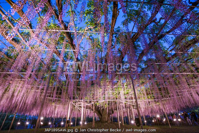 Huge Wisteria plant at the Ashikaga flower park, Tochigi Prefecture, Japan