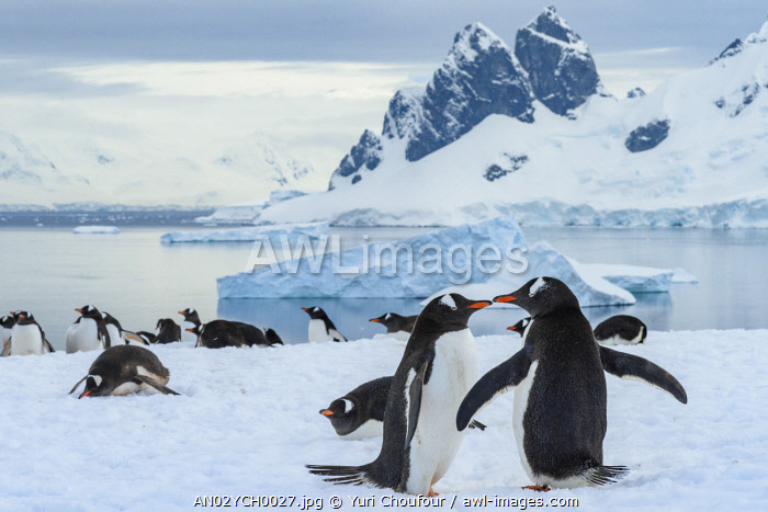 Antarctica, Antarctic Peninsula, Danco Island. Gentoo penguin courtship.