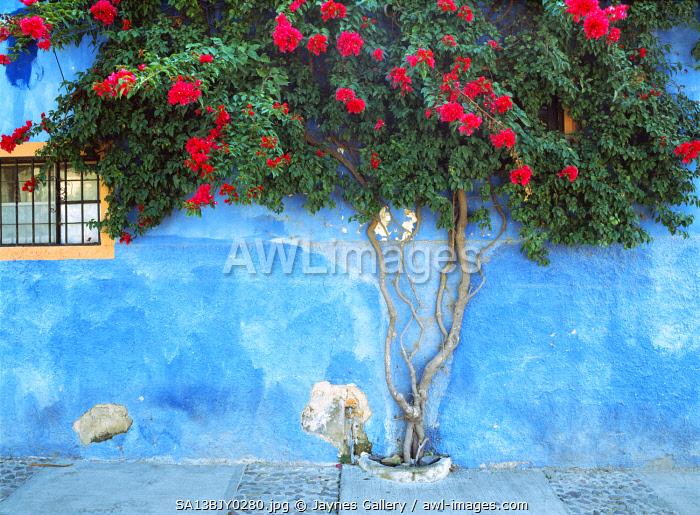 Mexico, Ajijic. Bougainvillea against wall