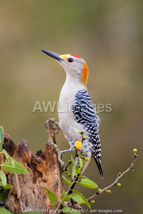 Golden-fronted woodpecker (Melanerpes aurifrons) foraging.