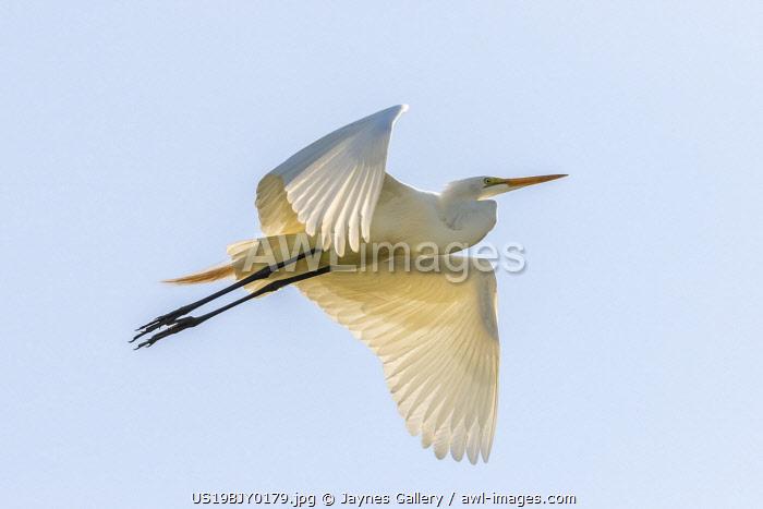 USA, Louisiana, Evangeline Parish. Great egret in flight