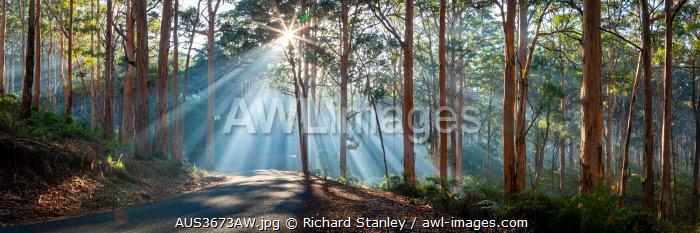 Early moring sun rays stream through Karri trees at Boranup Forest in the Margaret River region of south west WA.  Margaret River, South West, Western Australia, Australia