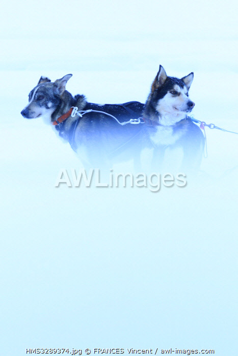 awl-images.com - Sweden / Sweden, Lapland, region listed as World Heritage by UNESCO, Norrbotten County, sled dogs at the Sami market since the 17th century in Jokkmokk