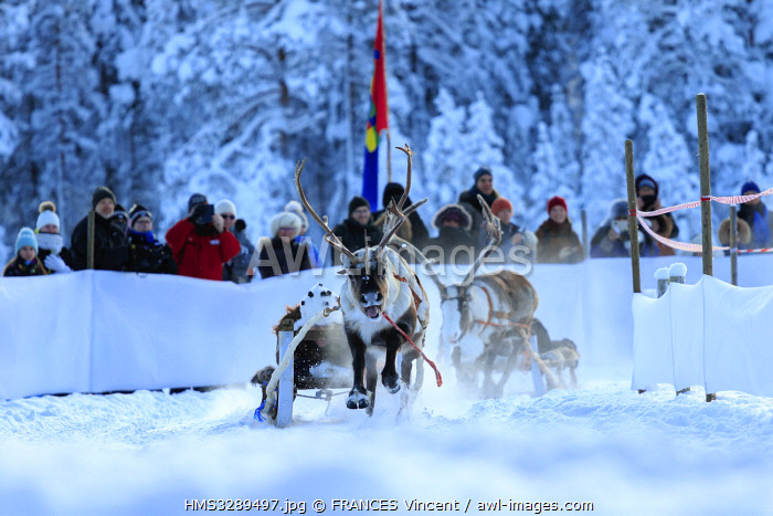 awl-images.com - Sweden / Sweden, Lapland, region listed as World Heritage by UNESCO, Norrbotten County, The reindeer race at the Sami market since the 17th century in Jokkmokk