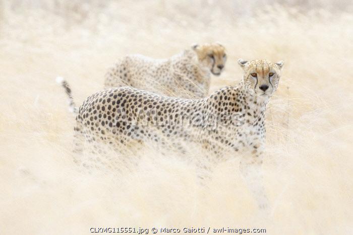 Cheetahs (acinonyx jubatus) hunting in the serengeti plain, Tanzania
