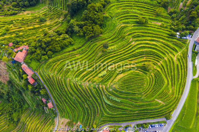 Montevecchia, Province of Lecco, Lombardy, Italy. Details of terraced vineyards