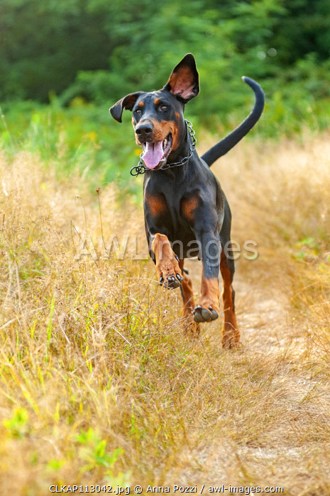 Milano province, Lombardy, Italy, Europe. Dobermann is running in the heath