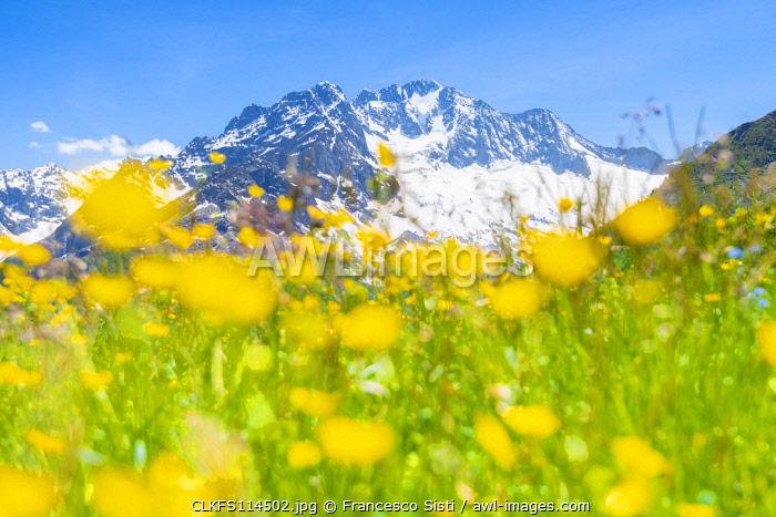 Meadows and Monte Disgrazia, Alpe dell Oro, Valmalenco, Valtellina, province of Sondrio, Lombardy, Italian alps, Italy