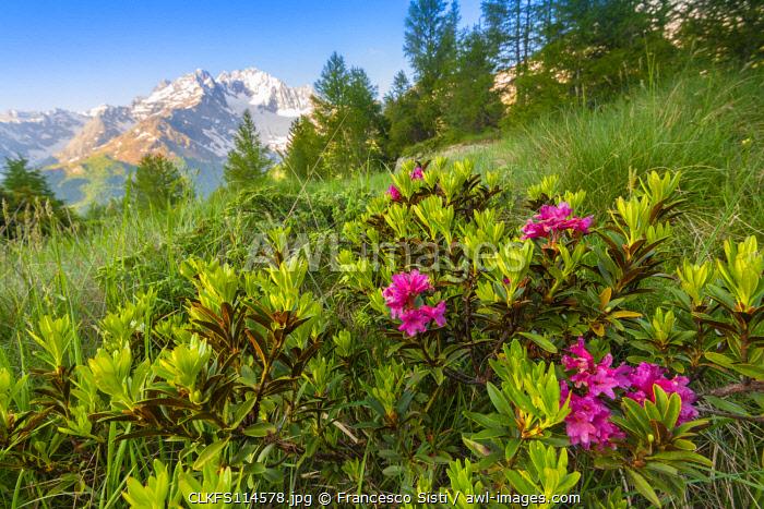 Rhododendron bush at Alpe dell Oro, Valmalenco, Valtellina, province of Sondrio, Lombardy, Italian alps, Italy