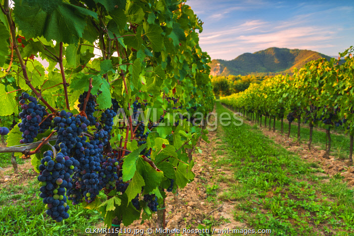 Grape of the Franciacorta, Brescia province, Lombardy district, Italy, Europe