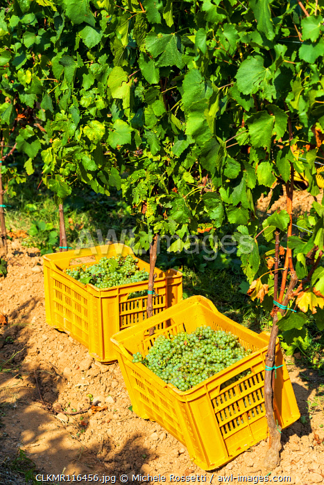 Harvest in Franciacorta, Brescia province, Lombardy district, Italy, Europe.