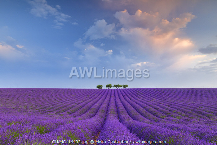 Lonely trees in a lavender field near Valensole at sunrise, Alpes-de-Haute-Provence, Provence-Alpes-Côte d'Azur, France.