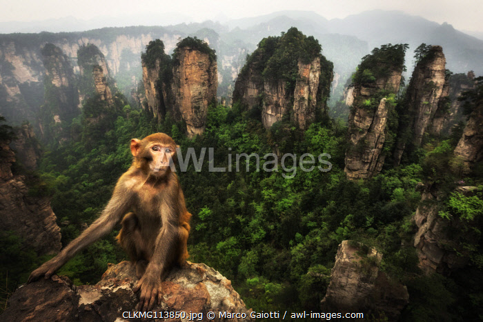 rhesus macaque (Macaca mulatta) over the cliffs of Yellow Stone Village,zhangjiajie national forest park, Hunan, China