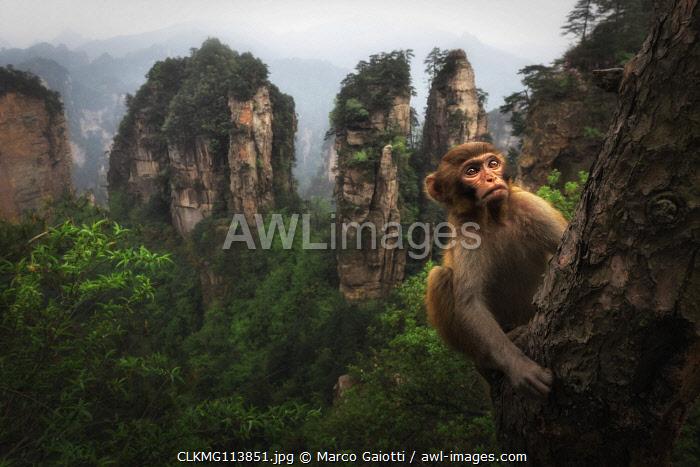 rhesus macaque (Macaca mulatta) over the cliffs of Yellow Stone Village,zhangjiajie national forest park, Hunan, China