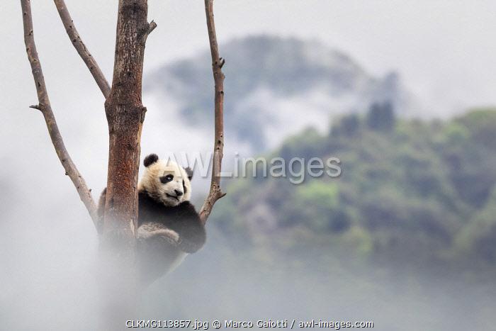 giant panda cub (Ailuropoda melanoleuca) climbing a tree in a panda base, Chengdu region, Sichuan, China