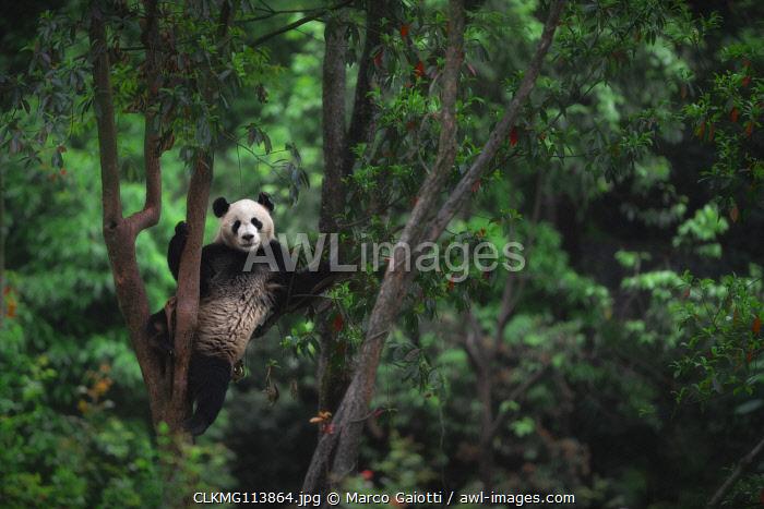 giant panda (Ailuropoda melanoleuca) climbing a tree in a panda base, Chengdu region, Sichuan, China