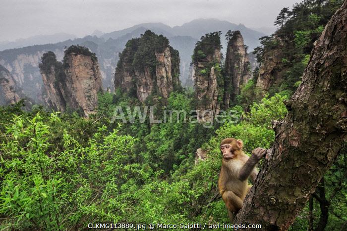 rhesus macaque cub (Macaca mulatta) over the cliffs of Yellow Stone Village,zhangjiajie national forest park, Hunan, China