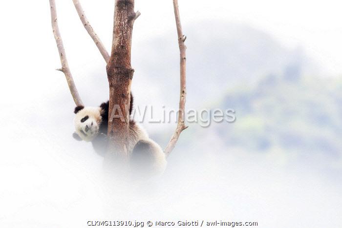 giant panda cub (Ailuropoda melanoleuca) in a panda base, Chengdu region, Sichuan, China