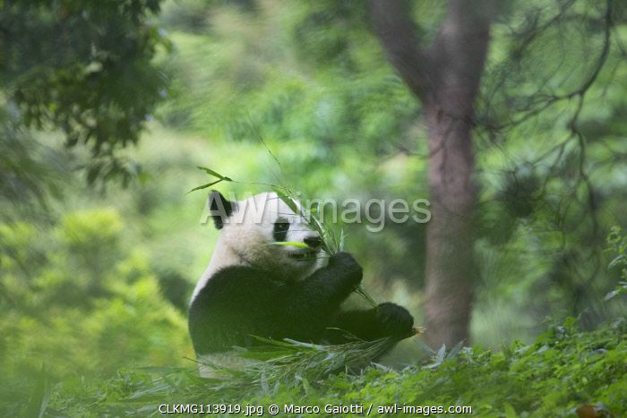 giant panda (Ailuropoda melanoleuca) in a panda base, Chengdu region, Sichuan, China