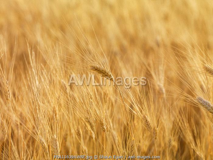 France, Provence, Alps Cote d'Azur, Haute Provence, wheat