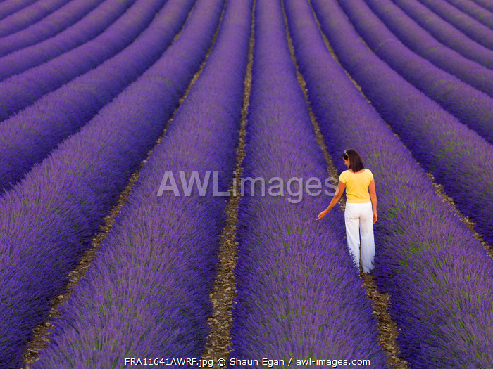 France, Provence Alps Cote d'Azur, Haute Provence, Valensole Plateau, woman walking through lavender Field (MR)