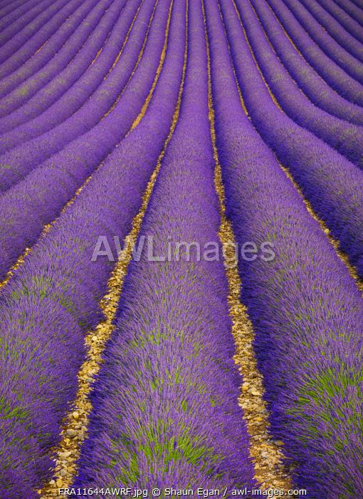 France, Provence Alps Cote d'Azur, Haute Provence, Valensole Plateau, Lavender Field