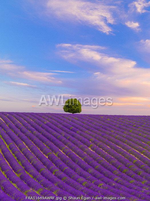 France, Provence Alps Cote d'Azur, Haute Provence, Valensole Plateau, single tree and Lavender Field