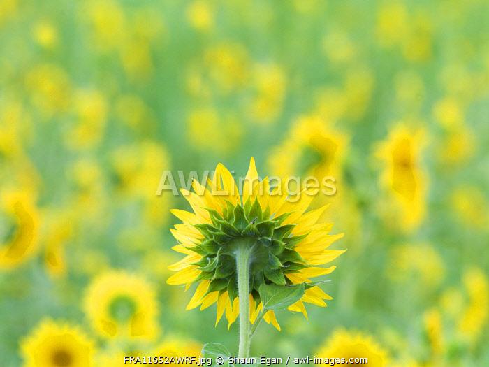 France, Provence, Alps Cote d'Azur, Haute Provence, rear view of sunflower